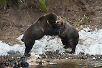 Two large male grizzly bears fight over a carcass. Yellowstone National Park, Wyoming.