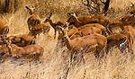 Impala in Tarangire National Park,.(Aepyceros melampus).August 14, 2006. Fitzroy Barrett.
