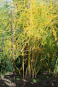 Asparagus foliage shortly before being cut down to the ground in autumn, mid October.
