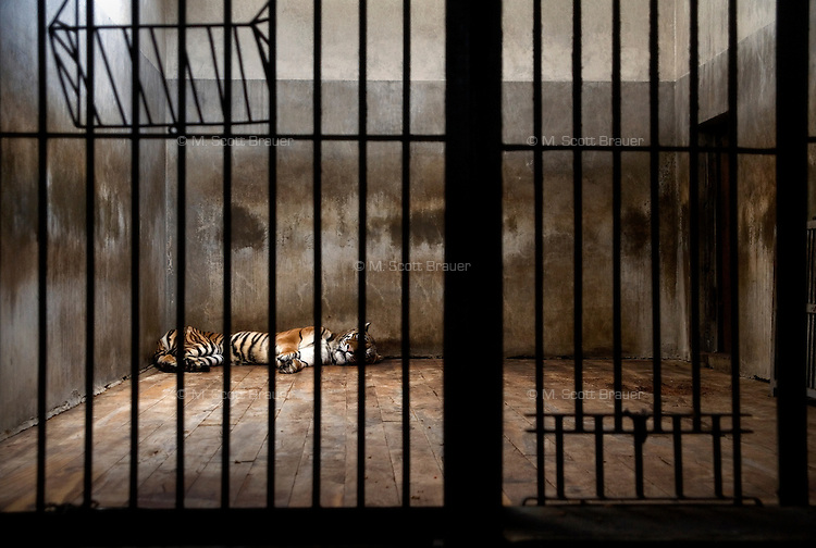 A tiger lays motionless in a small, dirty cage in the lion and tiger house of the Beijing Zoo in Beijing, China.