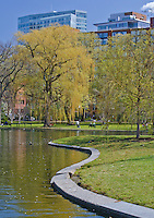 Willows are bright yellow in Spring at the Boston Public Gardens, Boston, Massachusetts