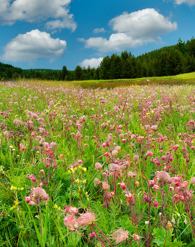 Prairie Smoke wildflowers in field near Enterprise, Oregon