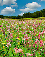 Prairie Smoke wildflowers in field near Enterprise, Oregon
