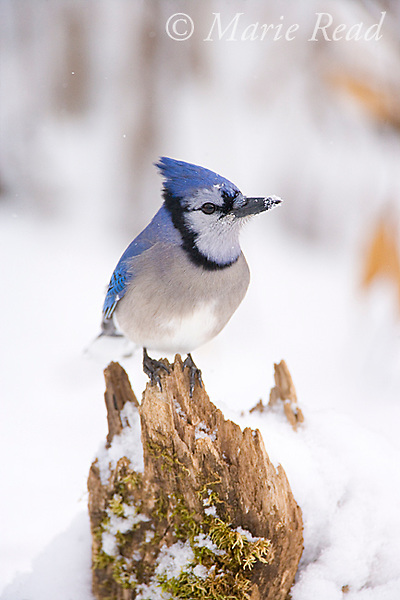 Blue Jay (Cyanocitta cristata) on snow-covered stump in winter, New York, USA