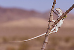 Desert iguana, Dipsosaurus dorsalis, climbing a creosote bush, Larrea tridentata, to feed on new leaves. Ibex Dunes are in the background. Death Valley National Park, California