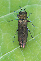 Buchenprachtkäfer, Buchen-Prachtkäfer, Agrilus viridis, beech splendour beetle