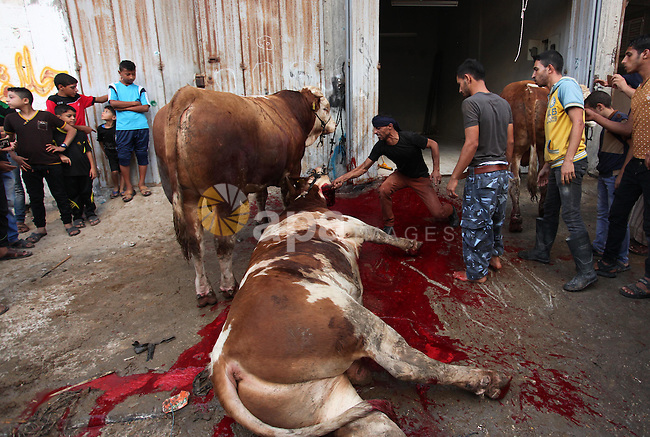Palestinian Muslims sacrifice animals on the first day of of Eid al-Adha or the feast of sacrifice, in Khan Younis in the southern Gaza Strip on September 12, 2016. Muslims across the world are celebrating the annual festival of Eid al-Adha, or the Festival of Sacrifice, which marks the end of the Hajj pilgrimage to Mecca and in commemoration of Prophet Abraham's readiness to sacrifice his son to show obedience to God. Photo by Ashraf Amra