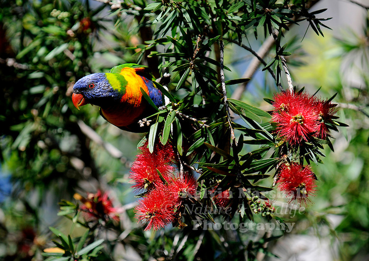 The Rainbow Lorikeet (Trichoglossus haematodus) is a species of Australasian parrot found in Australia, eastern Indonesia (Maluku and Western New Guinea), Papua New Guinea, New Caledonia, Solomon Islands and Vanuatu. In Australia, it is common along the eastern seaboard, from Queensland to South Australia and northwest Tasmania. Its habitat is rainforest, coastal bush and woodland areas.