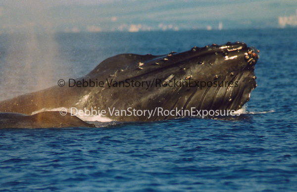 The Humpback Whale surfaces while cruising off the Maui Coastline in the AuAu Channel on January 12,1997.© Debbie VanStory/RockinExposures.