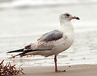First summer ring-billed gull in March