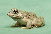 Male rice paddy frog, Fejervarya sp., from the Baucau district of Timor-Leste (East Timor)