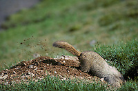 Hoary marmot digging out den site, July.. (Also see images # Mz92,93,99, 100,102.)