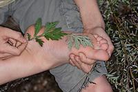 Blätter vom Beifuss, Gewöhnlicher Beifuß wirken erfrischend auf müde Füße, Füsse, Wiesen-Apotheke, Wiesenapotheke, Artemisia vulgaris, Mugwort