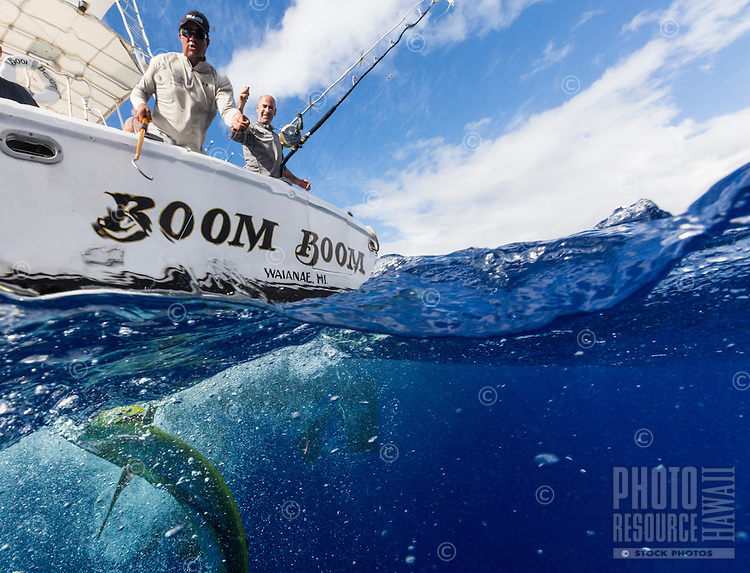 The crew of sport fishing boat Boom Boom pull up their catch, a mahimahi (a.k.a. dolphinfish) near Ka'ena Point, O'ahu.