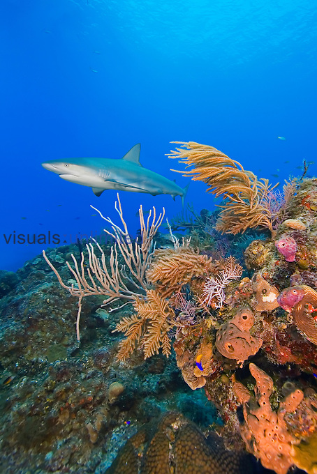 Caribbean Reef Shark (Carcharhinus perezi) swimming over a colorful coral reef with a diverse variety of invertebrate life, West End, Grand Bahama, Atlantic Ocean.