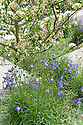 Daily Telegraph Garden, designed by Ulf Nordfjell, RHS Chelsea Flower Show 2009. Purple Campanula rotundifolia (Harebell).