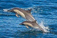 long-beaked common dolphin, Delphinus capensis, mother and calf, jumping, Isla San Esteban, Baja California, Mexico, Gulf of California, aka Sea of Cortez, Pacific Ocean