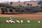 Domestic pigs, Tuscany, Italy