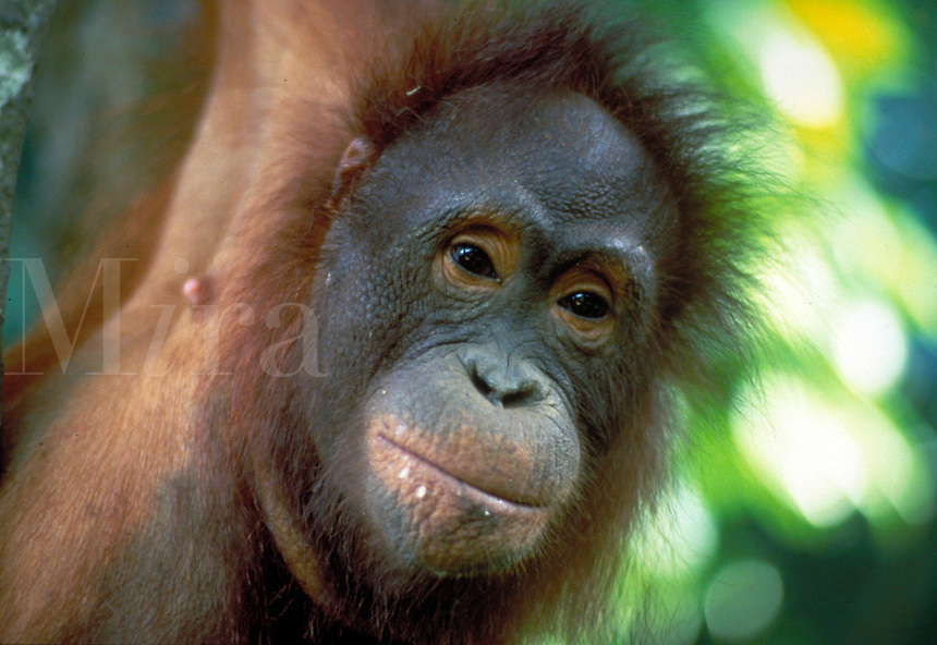 Orangutan, pongo pigmaeus - a young individual with milk on its lips hangs from a tree limb in the rainforest, apes. South-Central Kalimantan Borneo Indonesia Rainforest.