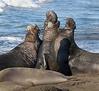Northern Elephant Seals (Mirounga angustirostris). This hierarchical battle among the lower-ranking bulls is three-way affair. Point Piedra Blancas. Near Cambria, San Luis Obispo Co., Calif.