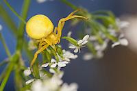 Veränderliche Krabbenspinne, Weibchen, Krabben-Spinne, Misumena vatia, goldenrod crab spider, flower crab spider, female, Krabbenspinnen, Thomisidae, crab spiders