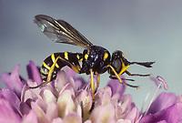 Dickkopffliege, Blasenkopffliege, Dickkopf-Fliege, Blasenkopf-Fliege, Conops flavipes, Conops melanocephala, Blasenkopffliegen, Conopidae