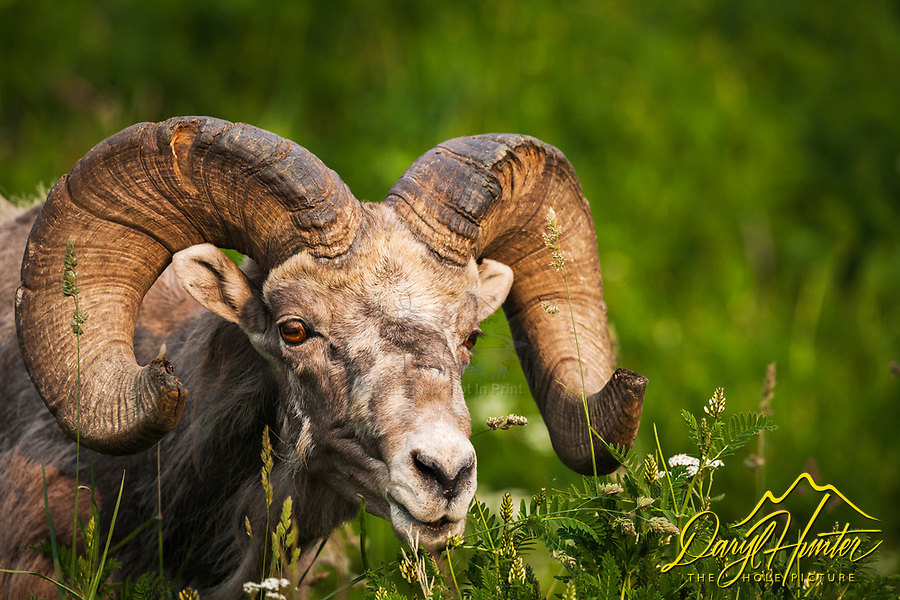 Trophy Bighorn Sheep Ram outside of Hinton Alberta in the Canadian Rockies