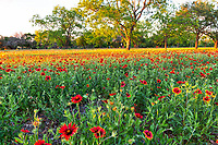 Texas Wildflowers - Texas wildflower landscape Prints - More Texas Wildflowers in the hill country  This was such a wonderful field of indian blankets or firewheel in the late afternoon.
