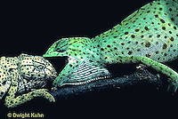 CH21-029z  African Chameleon - dominant green biting at recessive pale, territorial confrontation  - Chameleo senegalensis