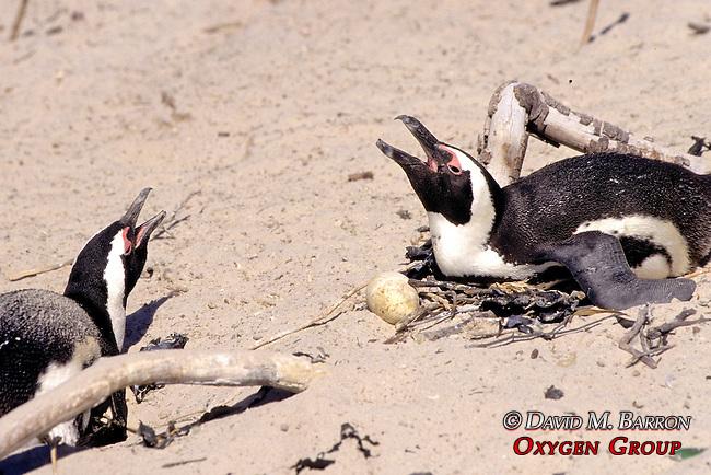 African Penguins & Egg
