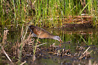 Virginia rail feeding