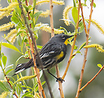 A yellow rumped warbler sits in a tree.
