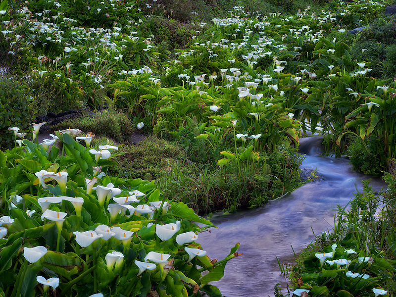 Calla lillies and stream. Garrapata State Park, California