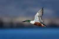 Northern Shoveler (Anas clypeata) drake flying.  Oregon-California border.  Late winter/early spring.