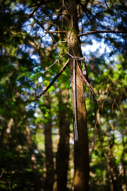 A rope that has been tied to a tree at one end and into a noose at the other lies broken in the undergrowth of Aokigahara Jukai, better known as the Mt. Fuji suicide forest, which is located at the base of Japan's famed mountain west of Tokyo, Japan.