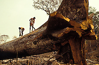Logging, Amazon rainforest clearance, workers cut down a large tree using chainsaw.