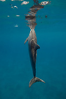 spinner dolphin, Stenella longirostris, surfacing to breath, Hawaii ( Central Pacific Ocean )