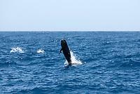 Pilot whale (globicephala macrorynchus) A breaching pilot whale. Canary Islands.