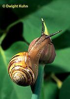 1Y08-144z   Land Snail, east coast land snail, Sephia hortensis