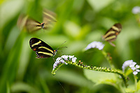 Butterfly; Aeria sp.; Ithomiinae; nectaring;  Ecuador, Prov. Loja, Jorupe Biological Reserve