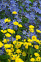 Anthemis tinctoria (Golden marguerite) and Campanula lactiflora, mid July.