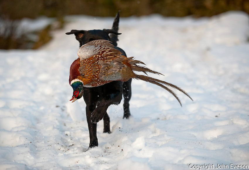 Shooting in snow, Lancashire. Labrador with pheasant.