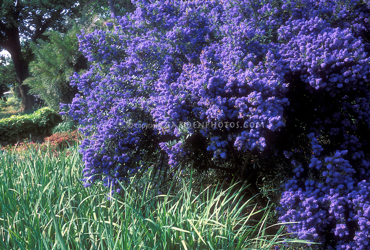 Ceanothus 'Concha', California lilac with very dark blue flowers, in garden