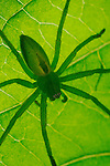 A Green Huntsman Spider (Micrommata virescens) hiding under a leaf.