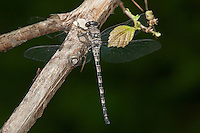 Gray Petaltail (Tachopteryx thoreyi) - male, Doodletown, Bear Mountain State Park, Rockland County, New York