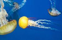 435250011 pacific sea nettle chrysaora fuscescens swim and float in their aquarium at the long beach aquarium in long beach california