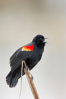 Red-winged Blackbird (Agelaius phoeniceus) male.  Pacific Northwest.  Spring.