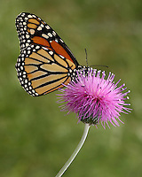 Monarch Buuterfly and Wild Thistle in May..