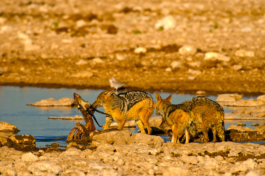 A pack of black backed jackals eat the carcass of a springbok at a watering hole in Etosha National Park, Namibia