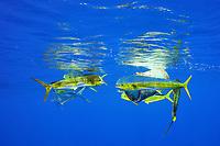 dorado, mahi-mahi, mahimahi, mahi mahi, or dolphin fish, Coryphaena hippurus, swimming near a floating plastic barrel, off Kaiwi Point, Kona Coast, Big Island, Hawaii, USA, Pacific Ocean